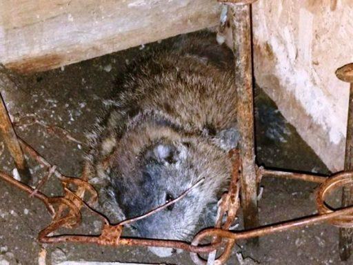 woodchuck trap killed